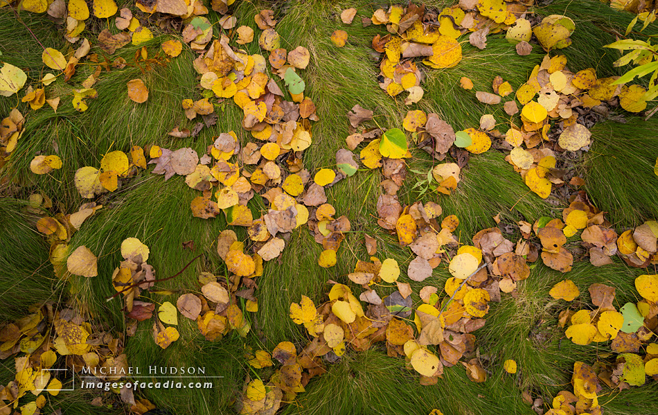Fallen birch leaves near the Great Meadow, Acadia National Park,