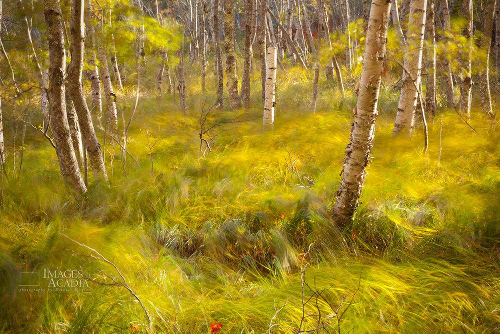 Blowing grass, Sieur De Monts