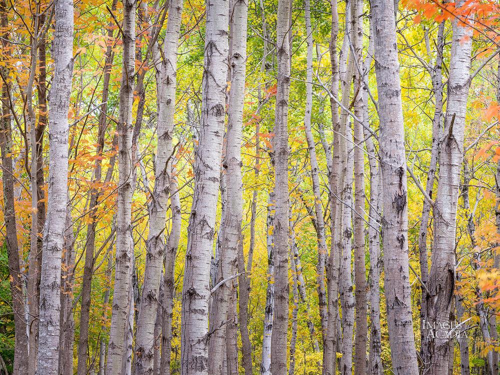 Woods near the Great Meadow