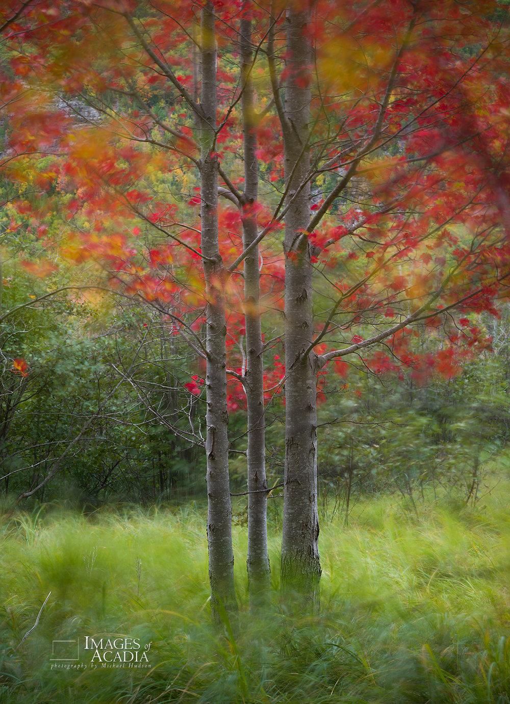 Birch trees near the Great Meadow