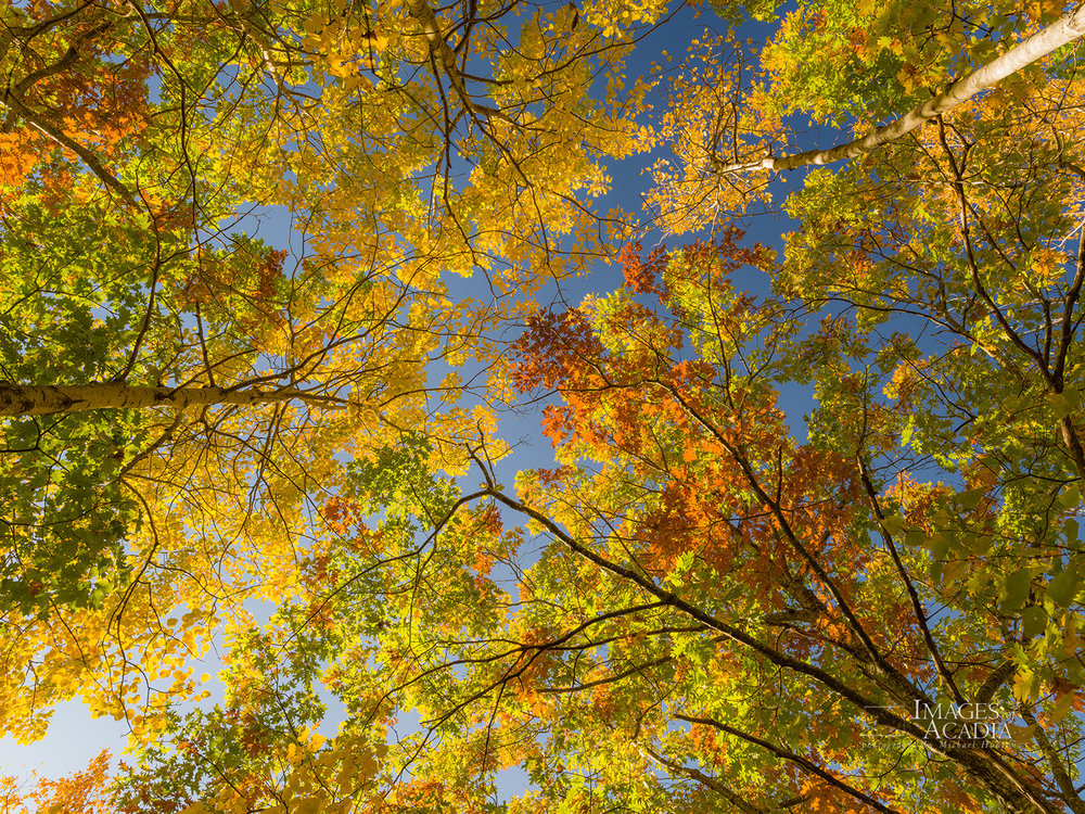 Colorful autumn trees along the Jesup Path