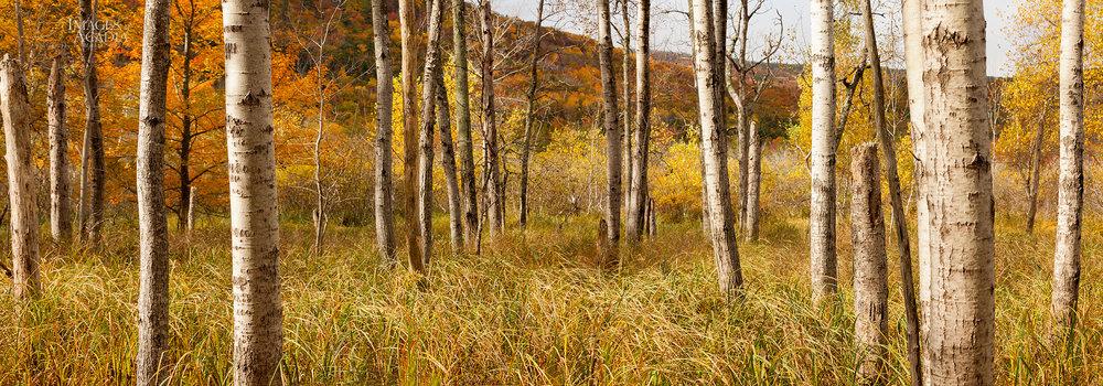 Birch trees beside the Great Meadow