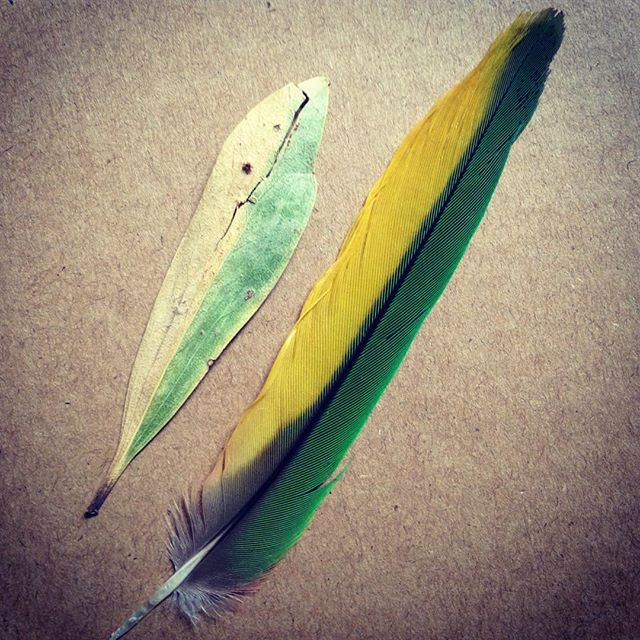 Some say it was the trees who gave feathers to birds and taught them to fly. #whoworeitbetter #bushschool #feather #leaves #trees #birds #natureconnection