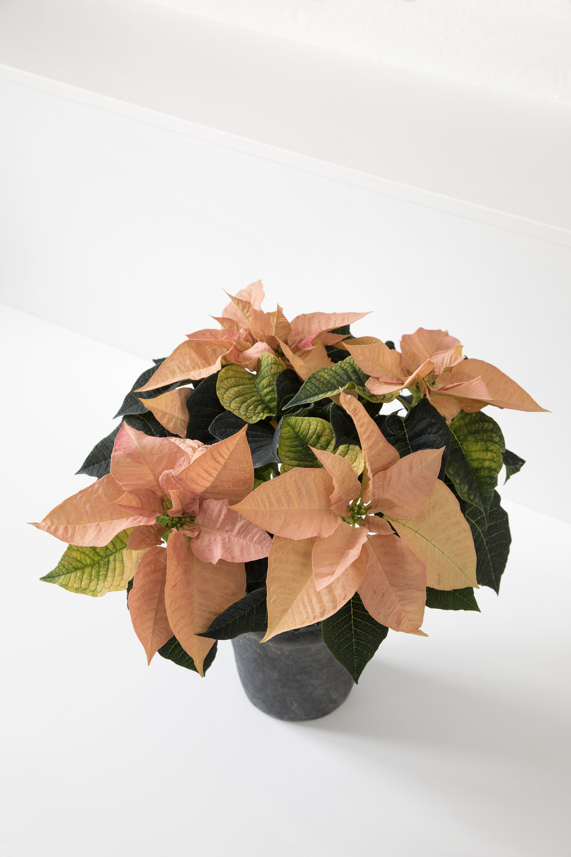Poinsettia Q-ismas Oak 12cm