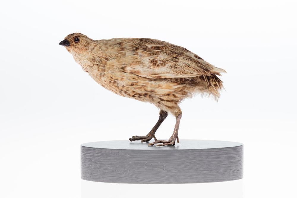 LB4106, Coturnix novaezelandiae, © Auckland Museum CC BY