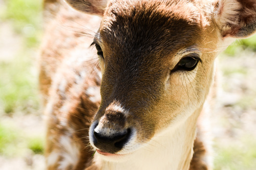 Fallow Deer Dama Dama at Paradise Valley Springs by Giverny, licensed CC By NC