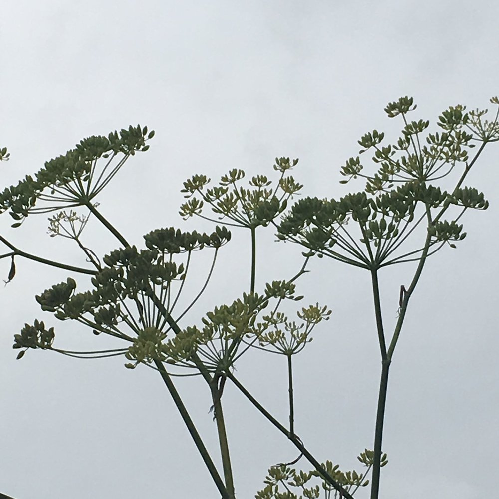 Dill filigree in B's garden | MV | US