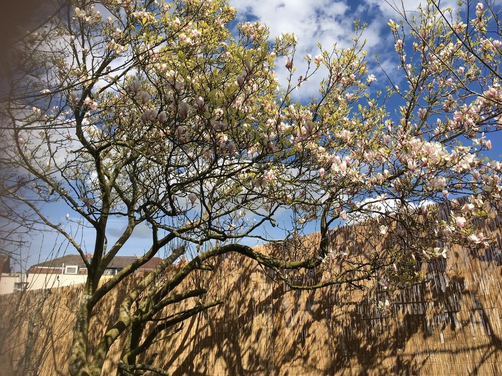 Our beautiful Magnolia Tree
