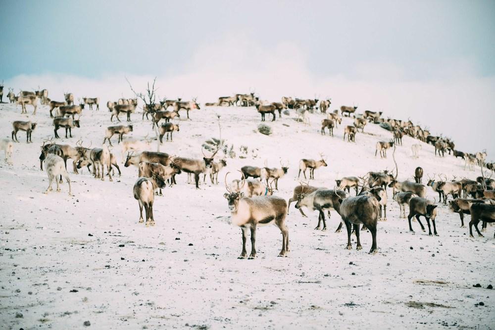Lapland-Caro264.jpg