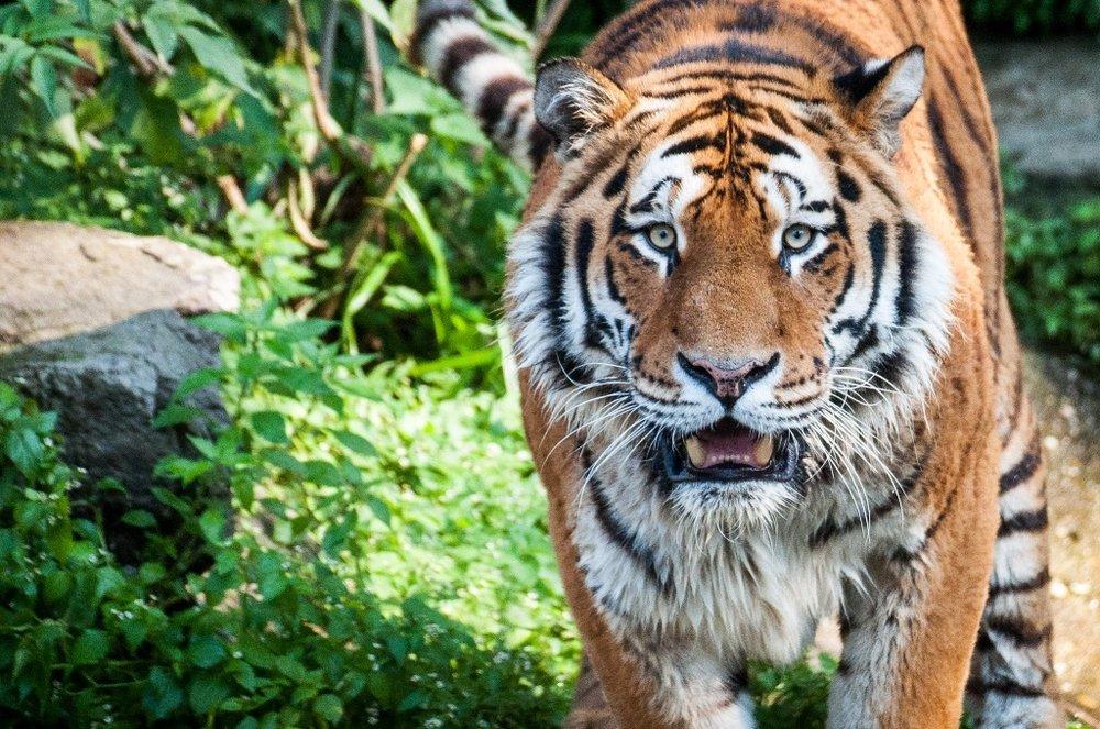 Fotokurs im Köln Zoo gezeigt wird ein Tiger
