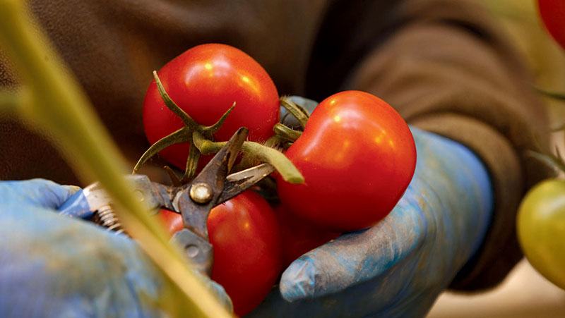 Modern Farmer - Thanks to MightyVine, You Can Have Local Tomatoes, 365 Days a Year: 6/23/16