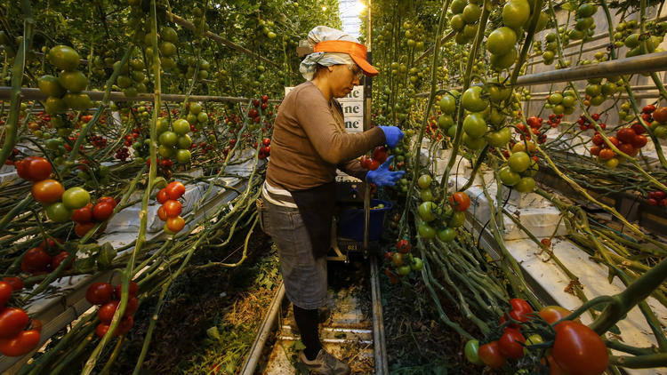 Chicago Tribune - MightyVine to double tomato operation: 3/23/16