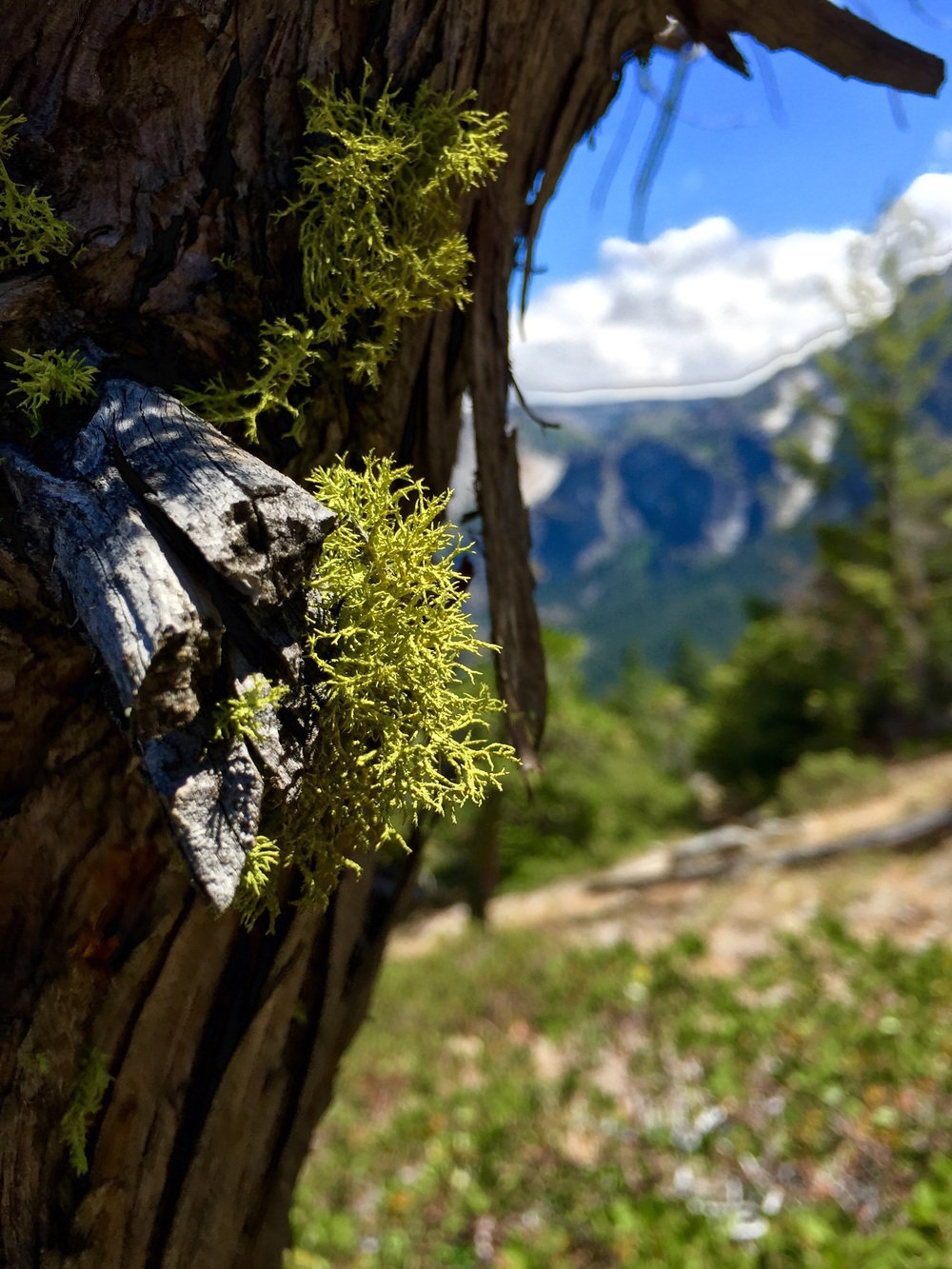 This beardy moss was everywhere at this elevation in Yosemite.