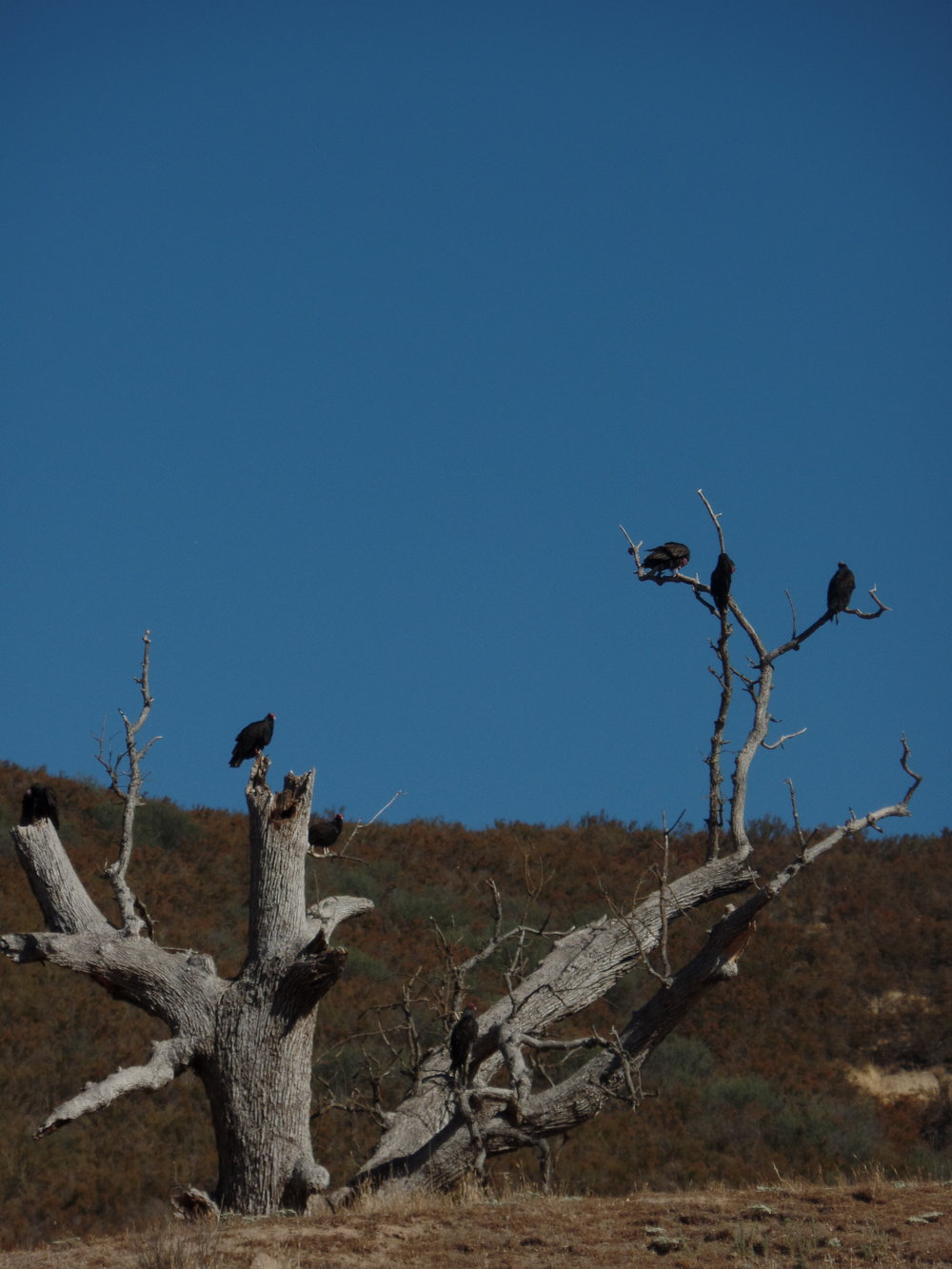 This was a cool tree on the way out of the campground, but we think these are another type of vulture and not California condors. We were able to see some California condor through the binoculars set up in the park. They were huge and awesome . . . and had a face only a mother could love.