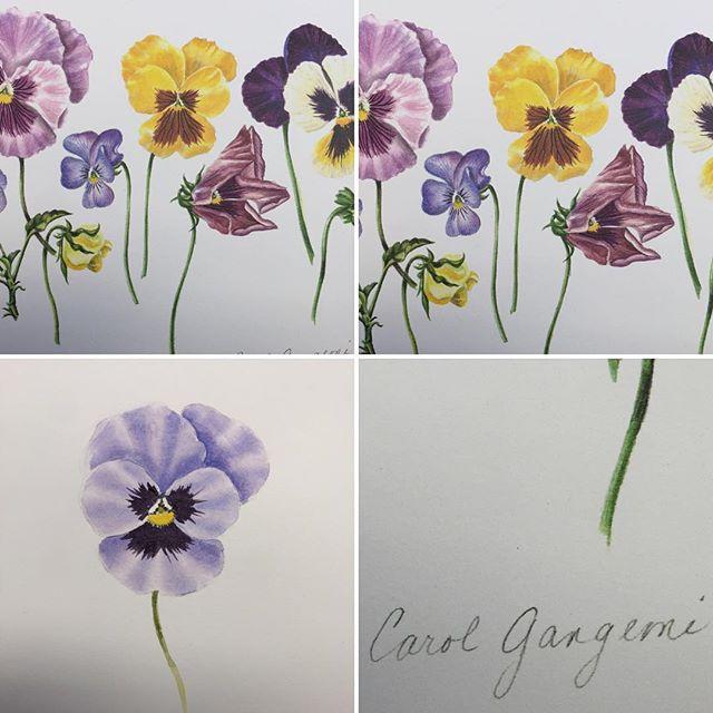 Carole Gangemi's pansies. #botanicalillustrationforcalligraphers #carolgangemi #pcsworkshops