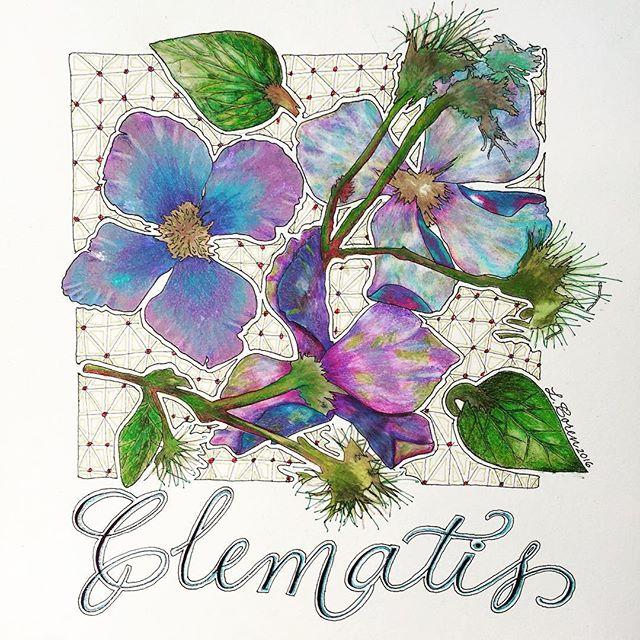 End of summer clematis by Leslie Coren @lescoren  #botanicalcalligraphy #philadelphiacalligrapher #zia #zentangleinspiredart #calligraphersbotanical