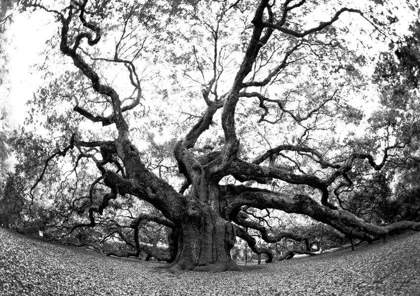 """Angel Oak""  said to be about 1500 years old!"