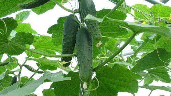 Cucumber 7.30.2018.jpg