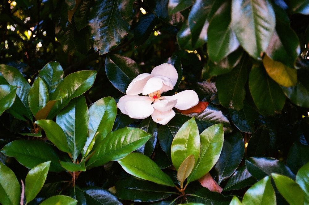 MagnoliaCourts.JPG