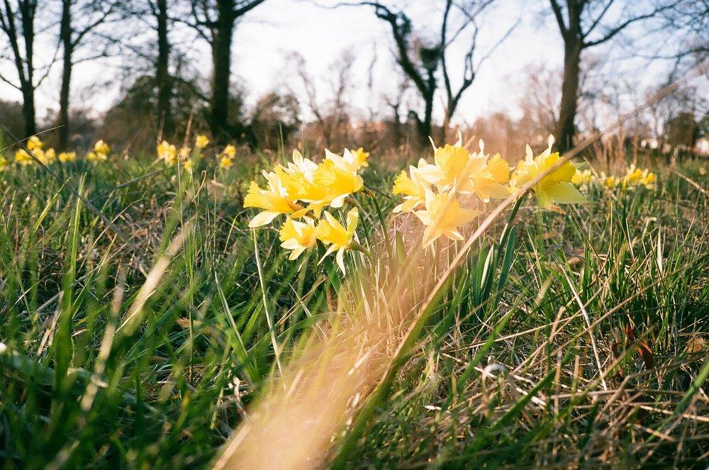 Westwood Gardens (Sunflare, Daffodils).jpg
