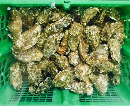 Carnac Oysters Brittany Oysters
