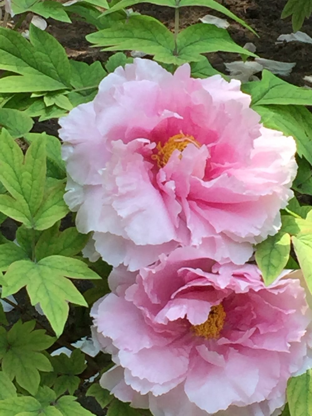Peonies in bloom in Jingshan Park, Beijing