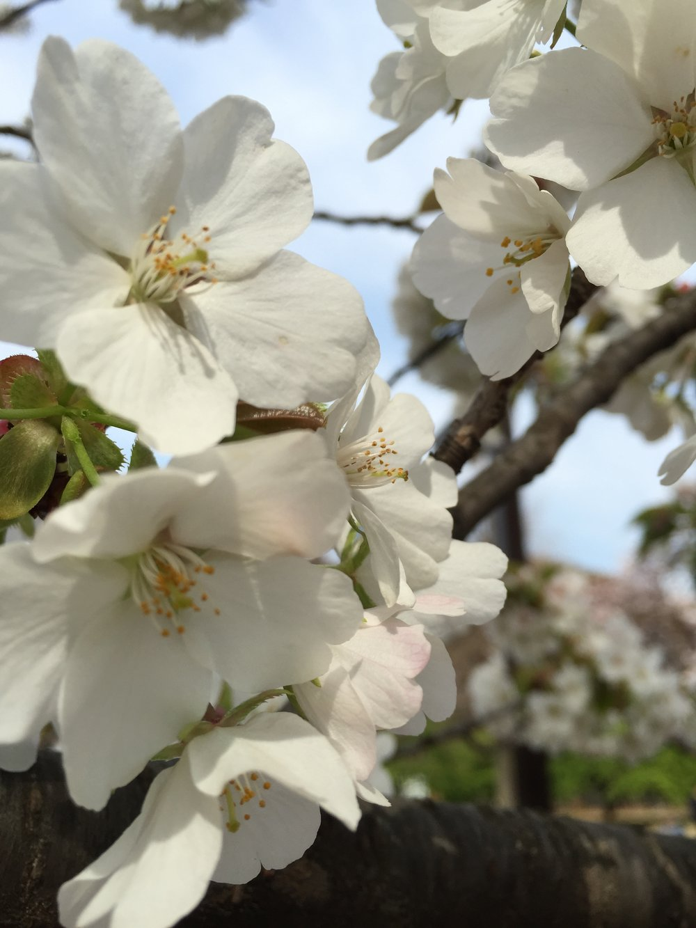 Cherry blossoms Tokyo, Japan