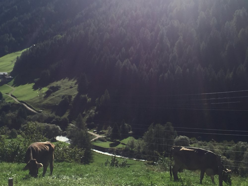 Cows in the pasture, Vermiglio, Italy
