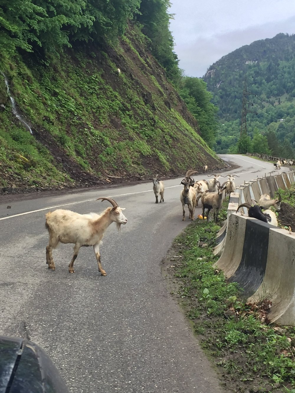 Goats in the road!