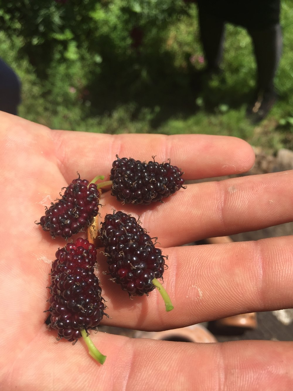 Black Mulberries in Georgia