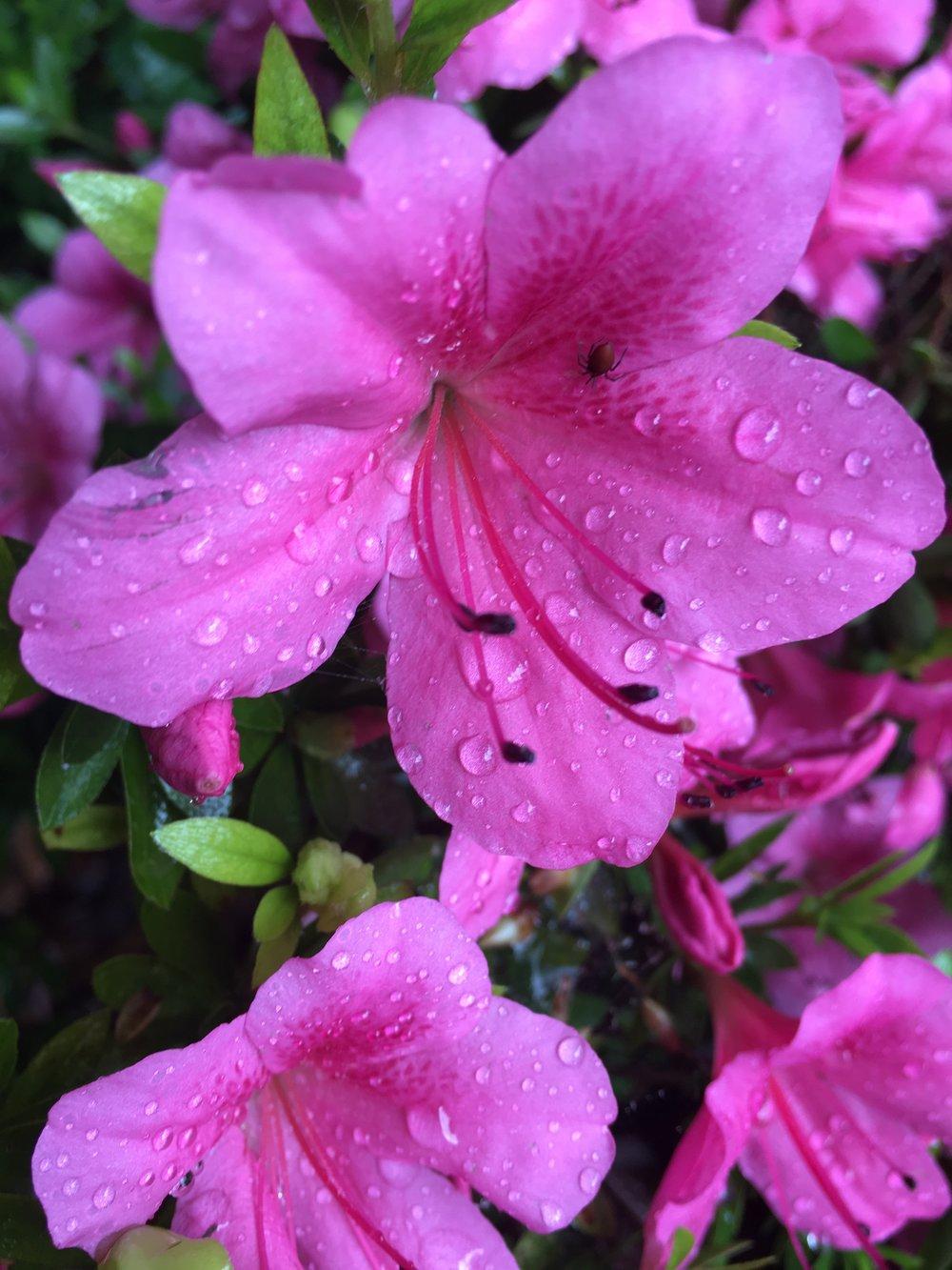 Azaleas basking in the rain