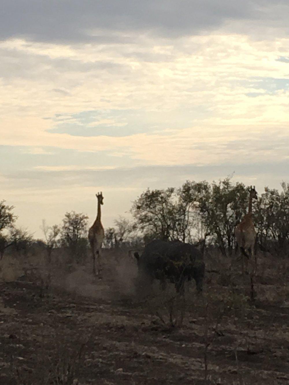 Rhino & Giraffe