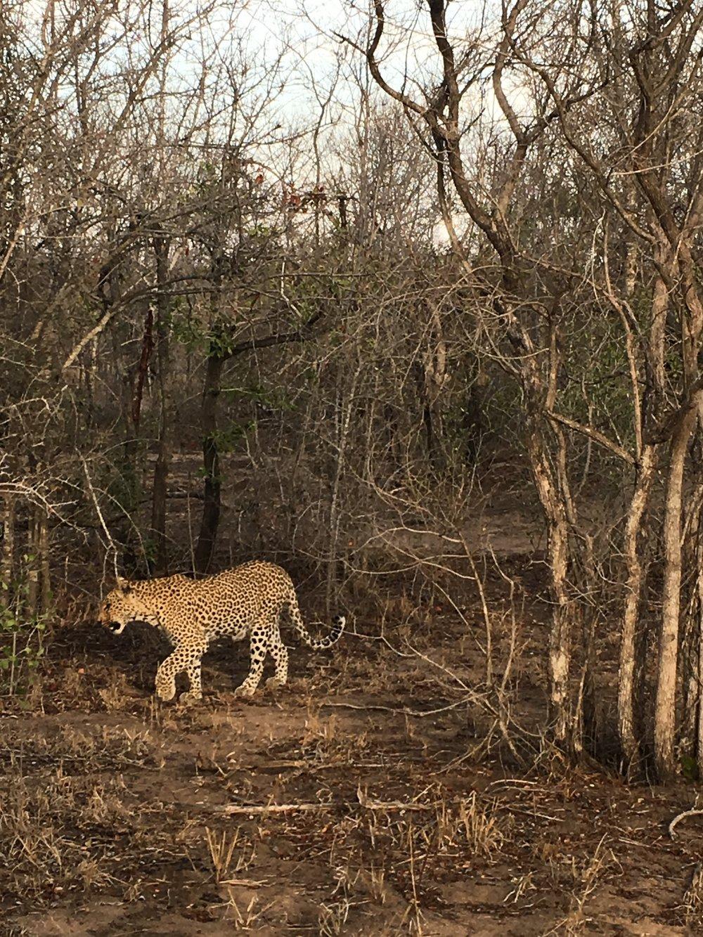 Non Plussed Leopard