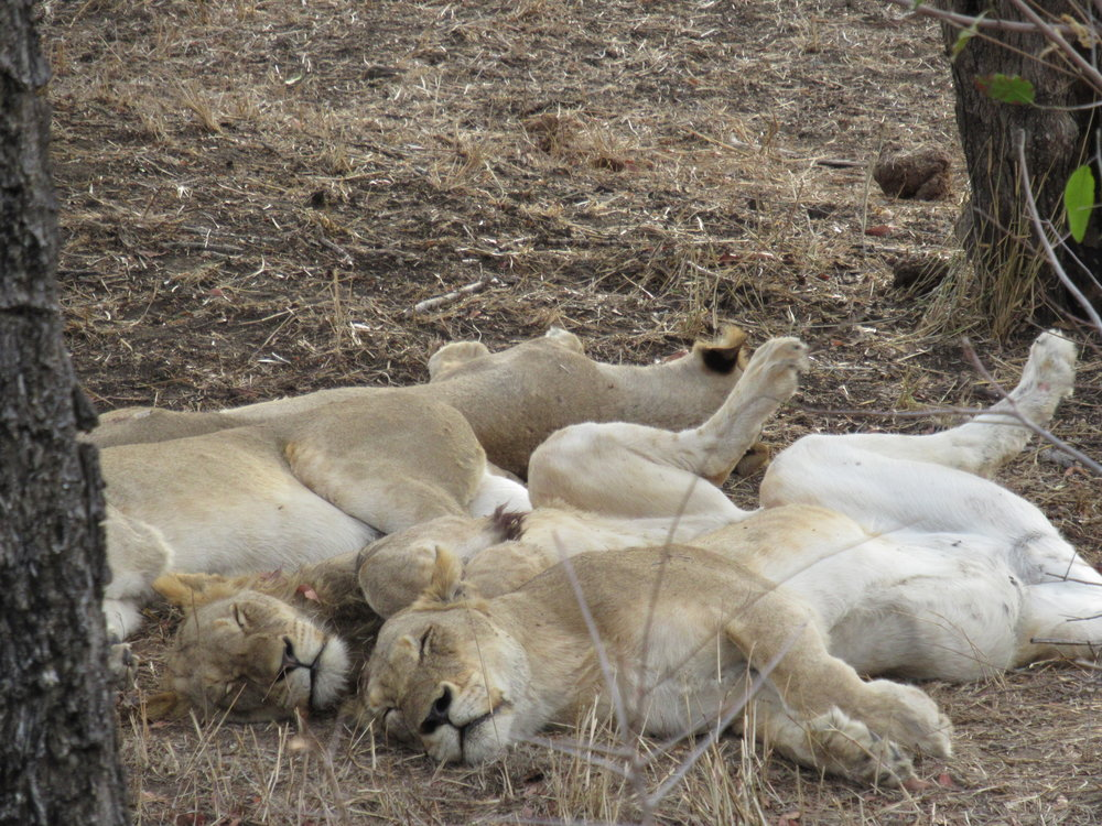 Cooling off while they rest. We saw this pride of lions in the Manyaleti Game Reserve on our first safari.
