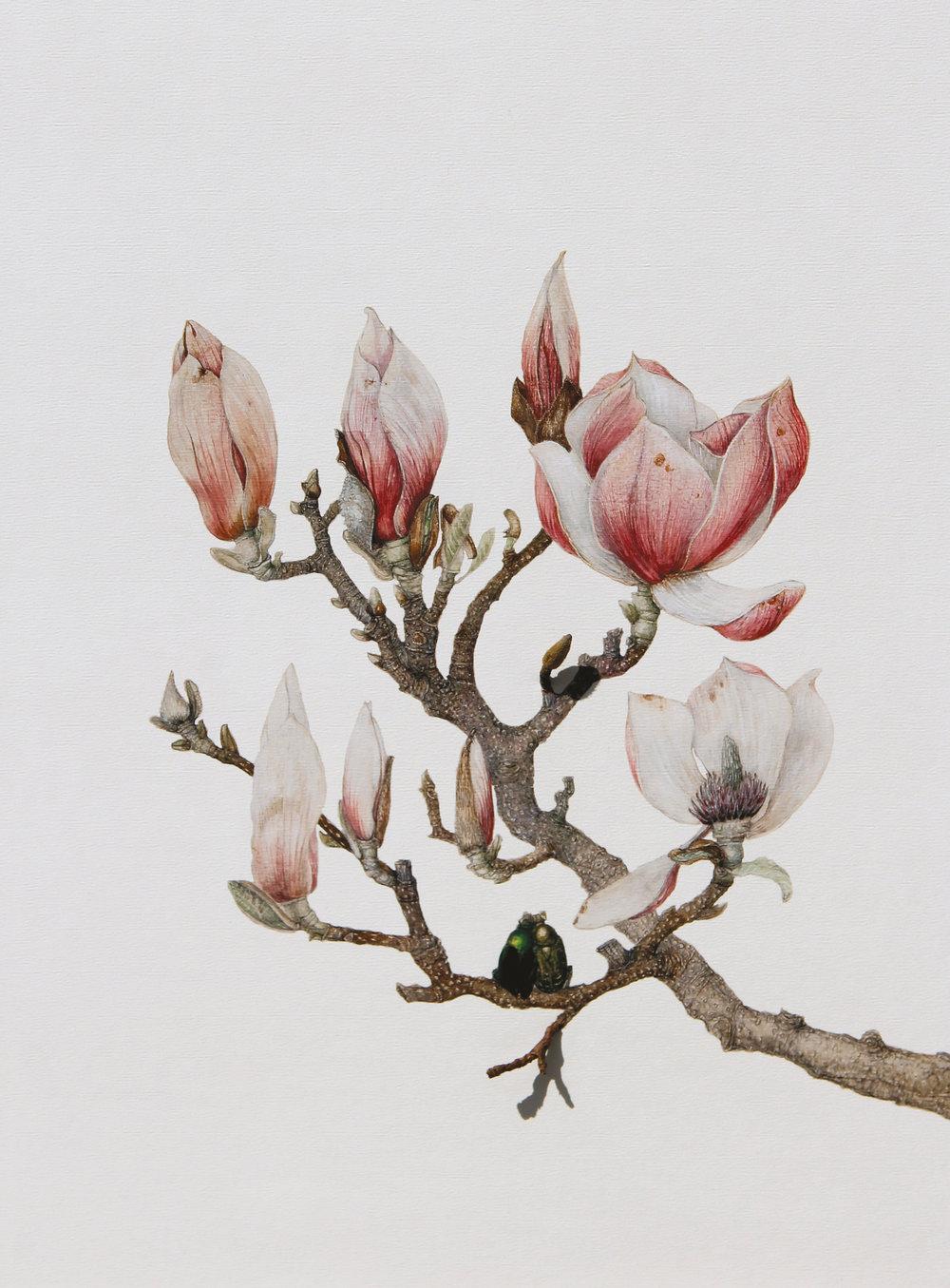 mccabe_magnolia_web300.jpg