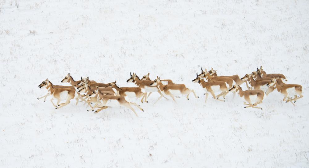 Antelope 7826