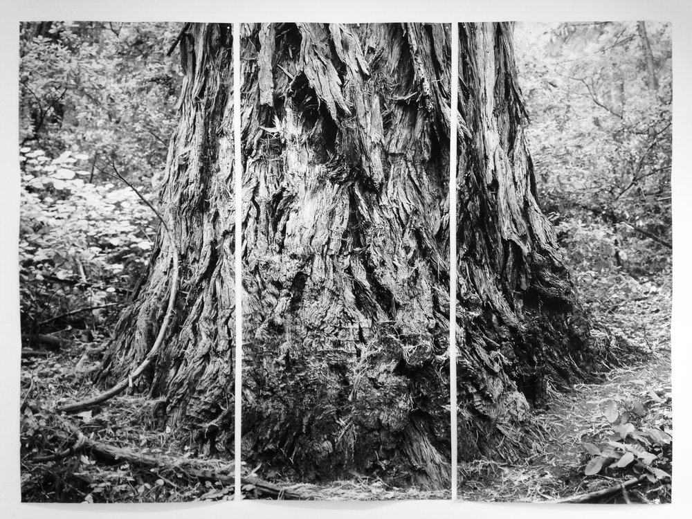 """Coastal Redwood Portrait #1, Santa Cruz Mountains"" (triptych), 2017, archival inkjet photograph on kozo paper, edition of 3 plus AP, 90 x 42 inches each panel; 90 x 128 inches total"