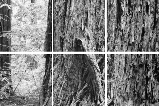 """Coastal Redwood Portrait #2,"" 2017, archival inkjet photograph on kozo paper edition of 10, sections 1-6, 15 x 15 inches each"