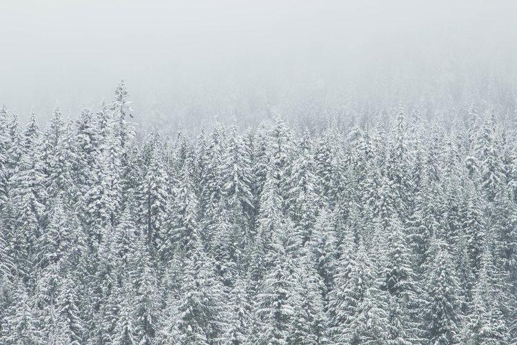 Snowy-pine-forest.jpg