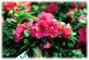 azalea rr 2.jpg