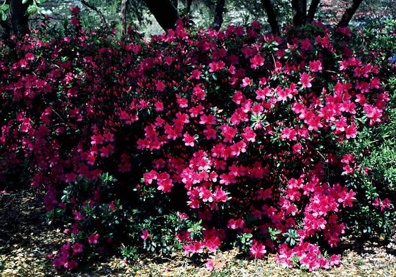 Azalea Formosa Purple.jpg