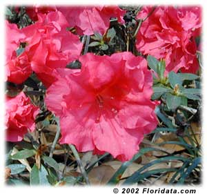 azalea rr.jpg