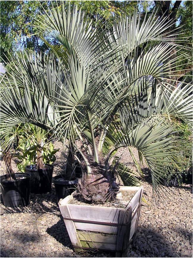Butia Palm.jpg