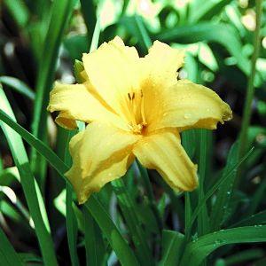 Day Lily.jpg