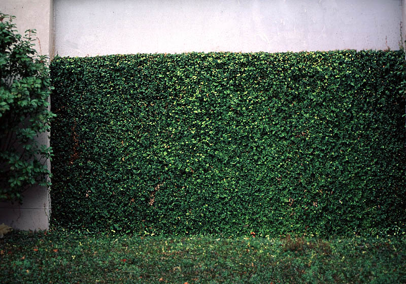 Ficus Rens Wall.jpg
