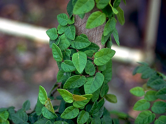 Ficus Repens Closeup.jpg