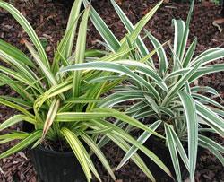 Flax Lily.jpg