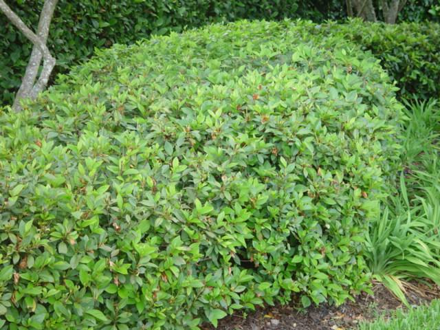 Formosa Azalea.JPG