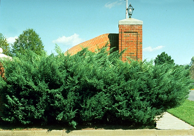 Juniperus chinensis.jpg
