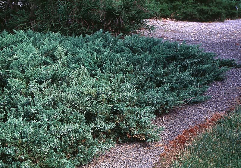 Juniperus sargentii.jpg